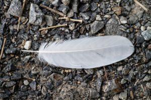 白い羽根の写真
